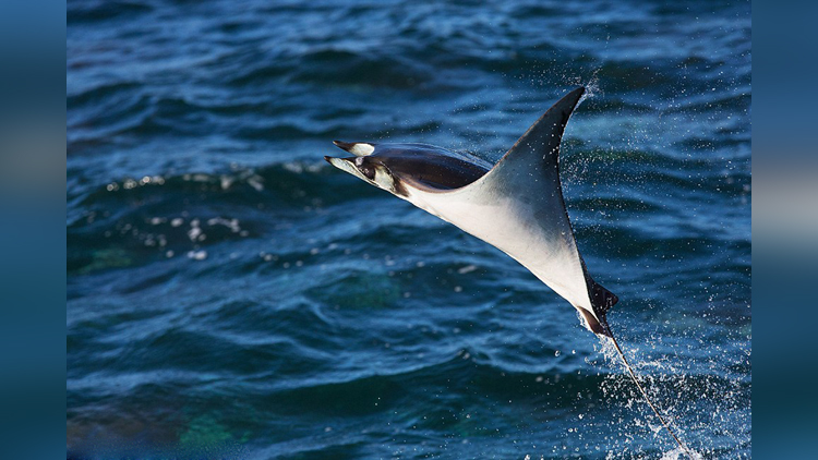 The strange flying fish you have never heard of