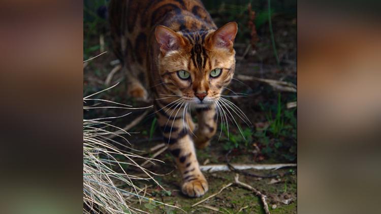 hot Bengal cat