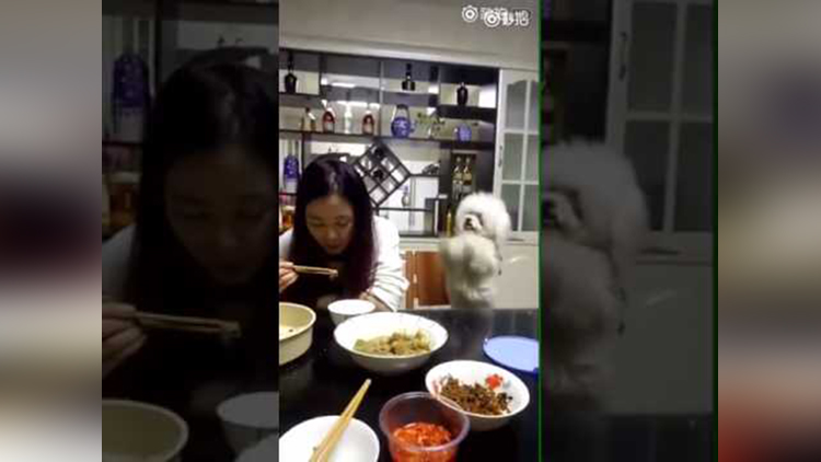 Cute Puppy begging for food pushing owner