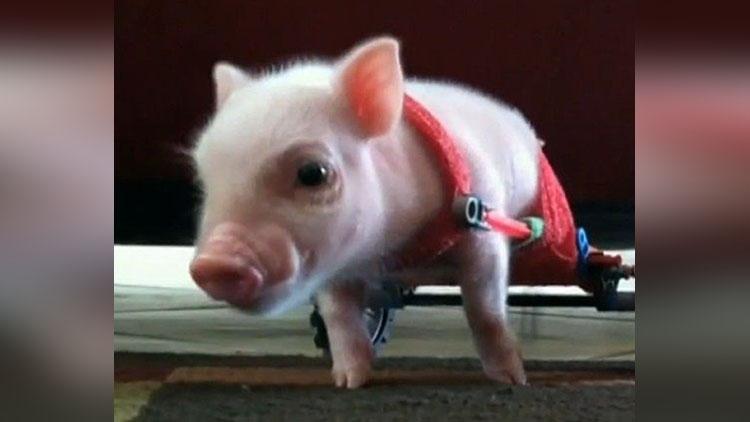 chris p bacon pig now a celebrity