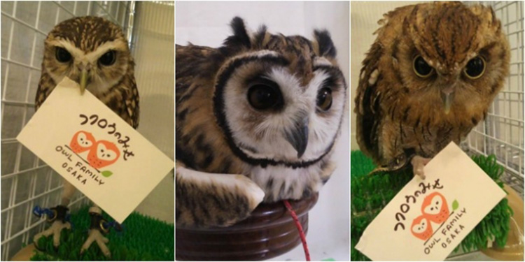 owls cafe boom in japan