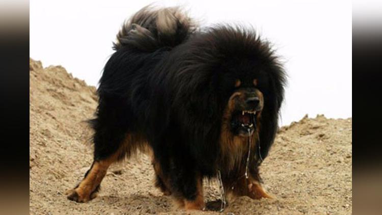 tibetan mastiff worlds most expensive dog