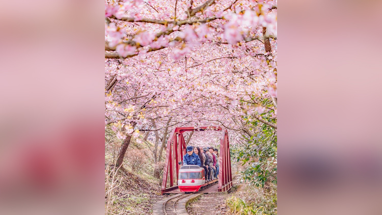 This Japanese Town Welcomes Cherry Blossoms Early Every Year