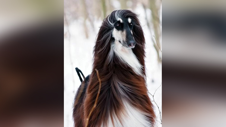 Photos of Stylish Australian dog Goes Viral, Becomes Internet Sensation