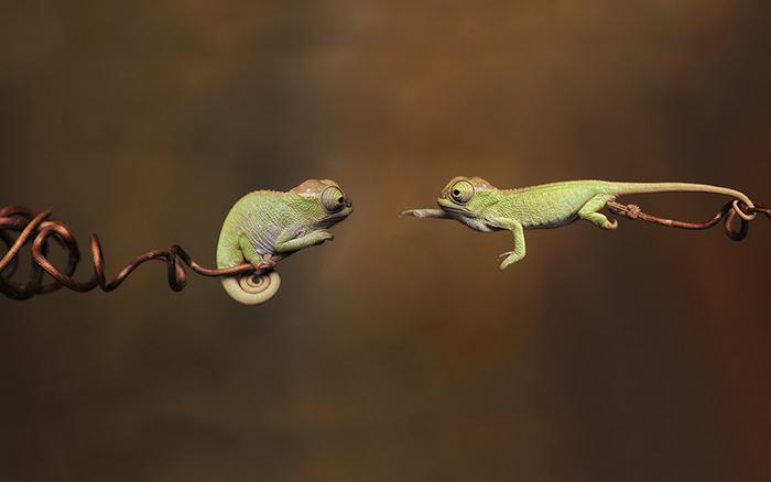 chameleons small baby