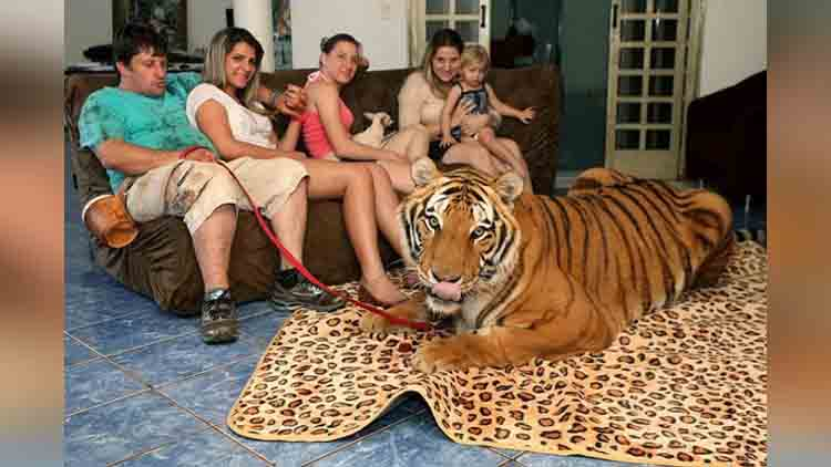 brazilian family lives with seven tigers