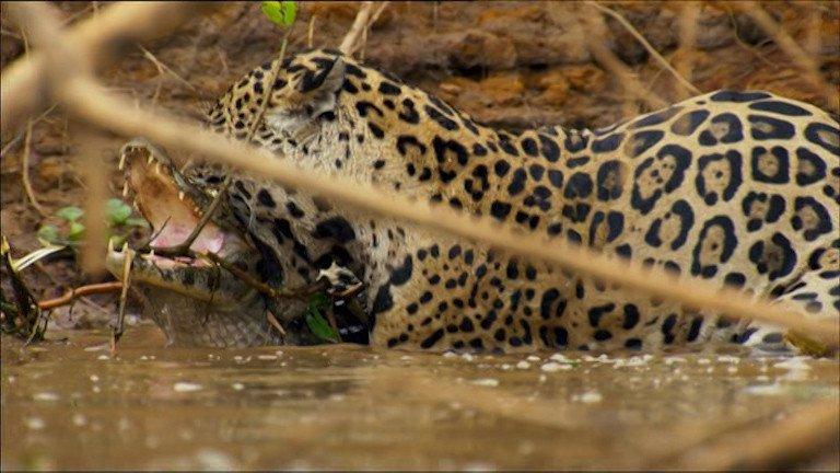 jaguar and crocodile fight