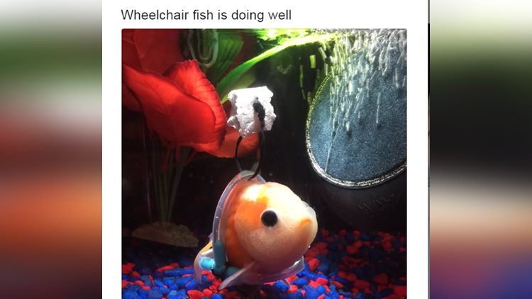 Man makes wheelchair for disabled goldfish