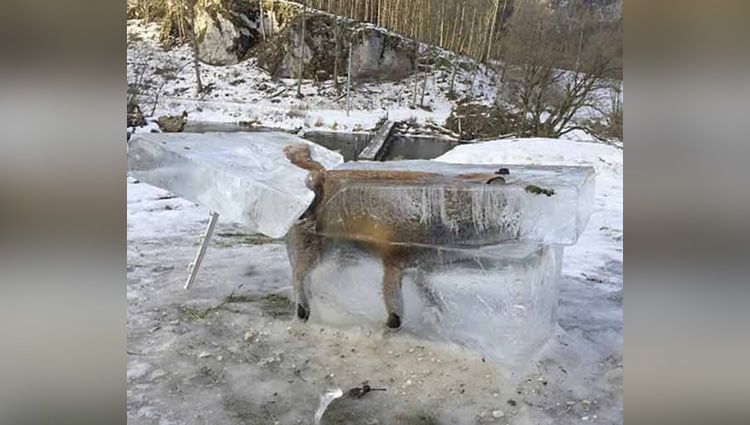 fox frozen in block of ice as temperature went minus degree in europe