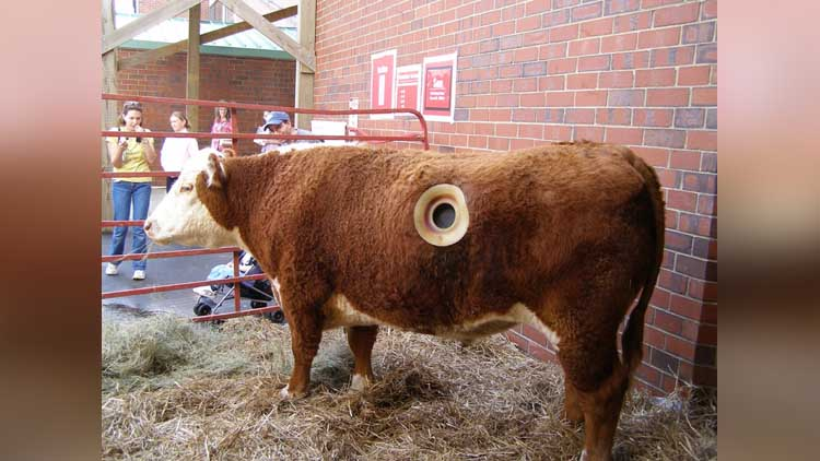 fistulated cows in america