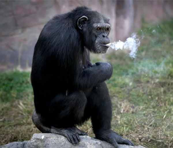 this chimpanzee smoke a full packet of cigarette