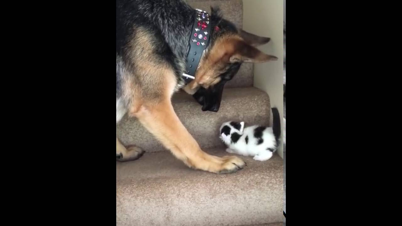 video viral of dog helping a kitten
