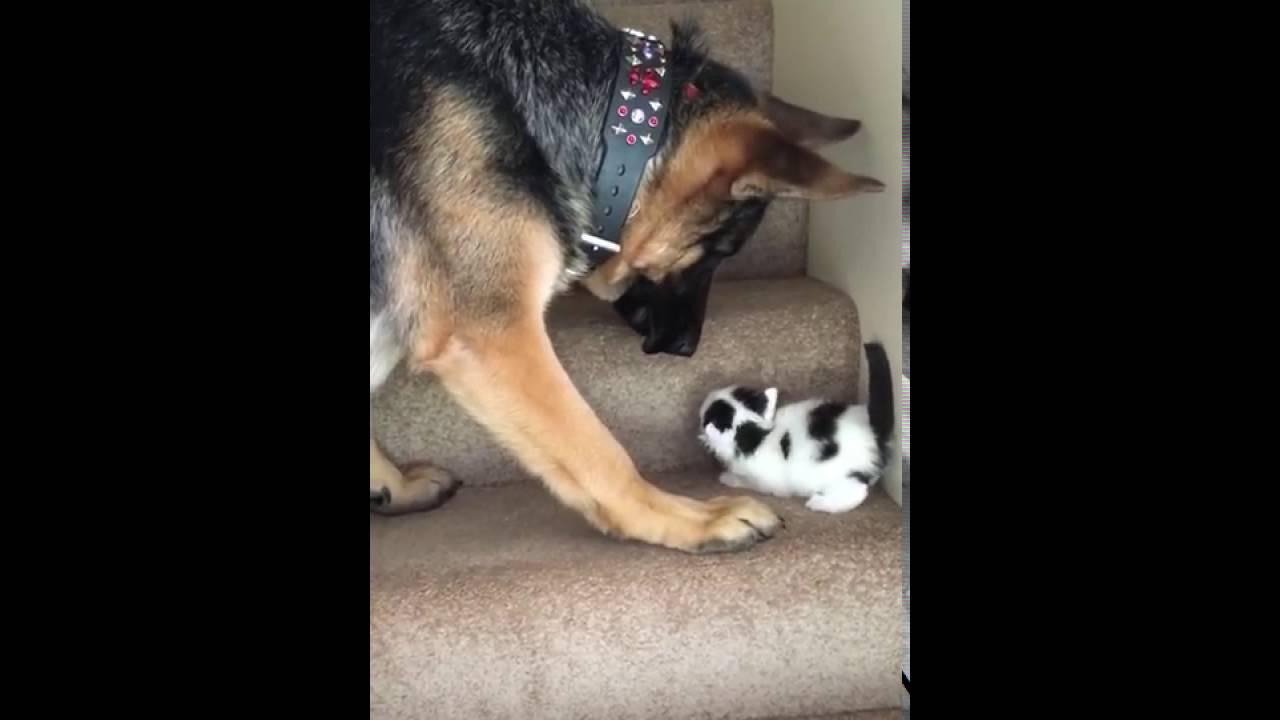video viral of dog helping a kitten