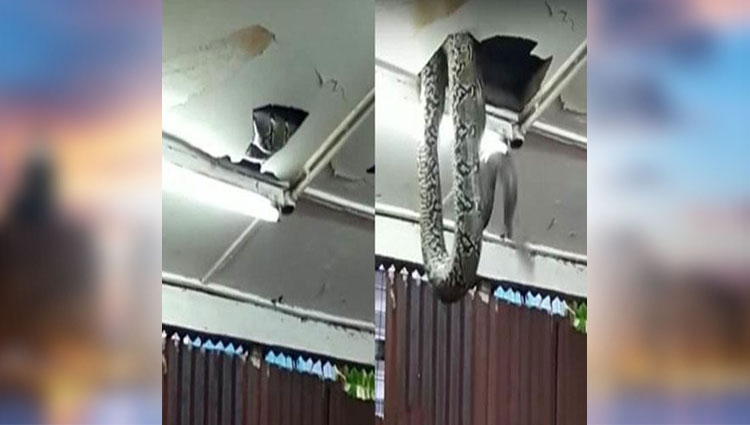 giant snake drops from ceiling