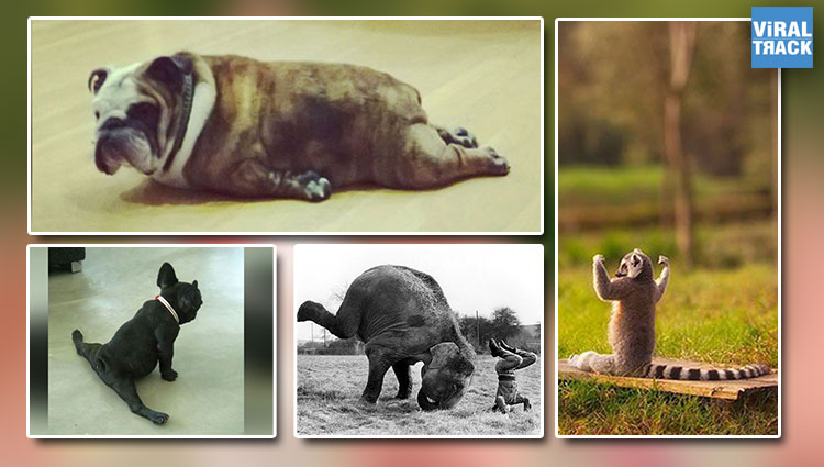Fitness Freak| These Yoga Performing Animals are Much More Fit Than You, LOL!