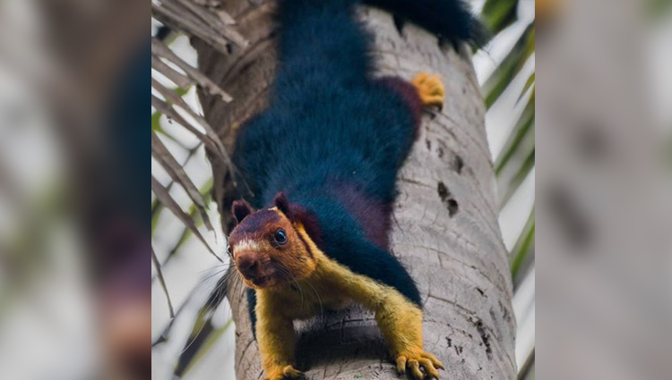 Giant purple squirrels do exist and they have an odd behavior