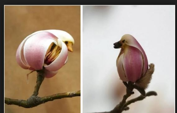 Magnolia Flower Looks Like Pretty Little Bird In Beijing Of China