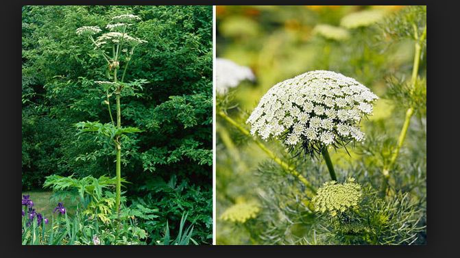 Wild parsnip Beware of the wild parsnip and other poisonous plants