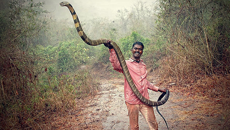 A Wildlife Conservationist Who Has Saved More Than 100 King Cobras