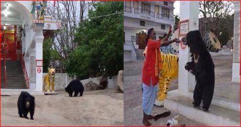 Bears Visiting Chandi Mata Temple at Aarti