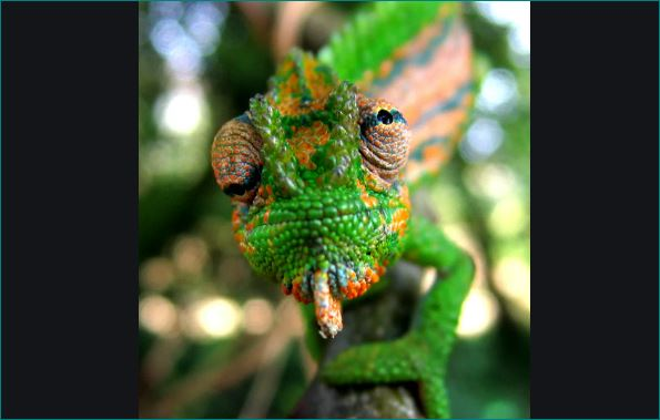 Why Do Chameleons Change Their Colors