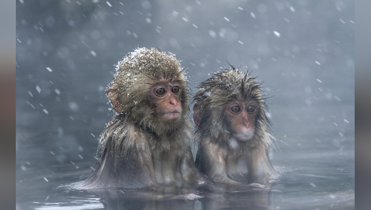 Japanese Zoo Has Killed 57 Snow Monkeys Saying They Carried Alien Genes!