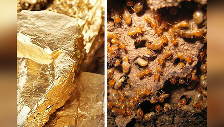 if you found anywhere Termite Mounds there may be gold study