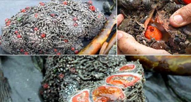 Chilensis Pyura viral pictures on social media