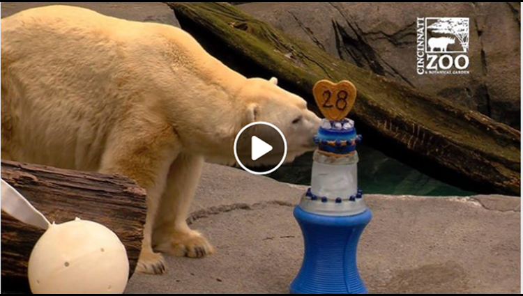 Polar Bears Celebrate Their Birthdays With Cake at the Cincinnati Zoo