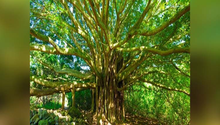 Banyan tree remain Alive when world Destruction