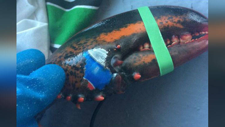 Lobster Found with Pepsi Logo