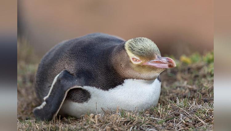 Fears for world's rarest penguin as population plummets