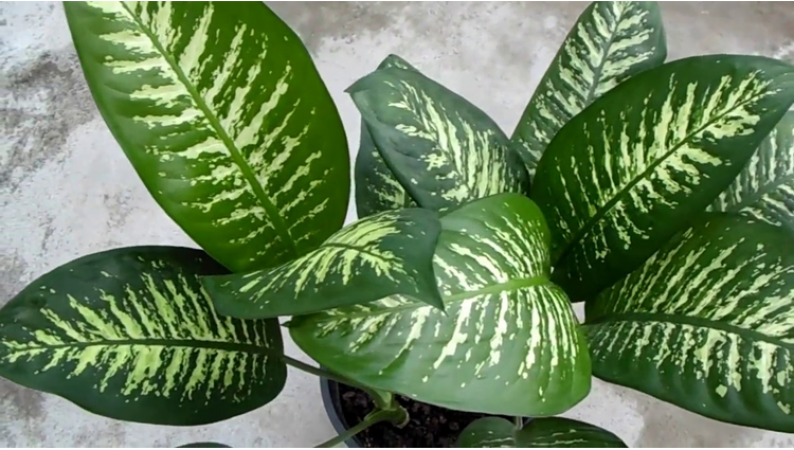 dumb cane or dieffenbachia plant dangerous for health