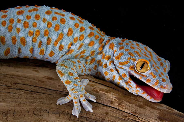giko chipkali Lizard Business Rs 20 lakh lizards new target of poachers in northeast