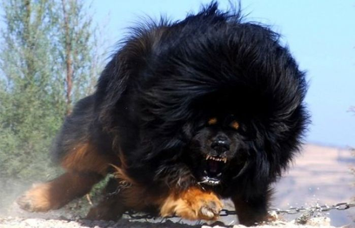 dog tibetan mastiff photos and price