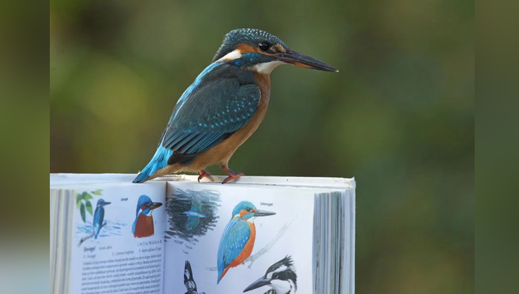 kingfisher captured by a wildlife photographer