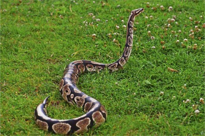 killed an anaconda