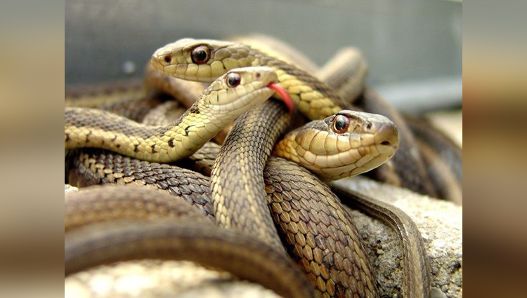 know about the mystery why there are not any snake in ireland