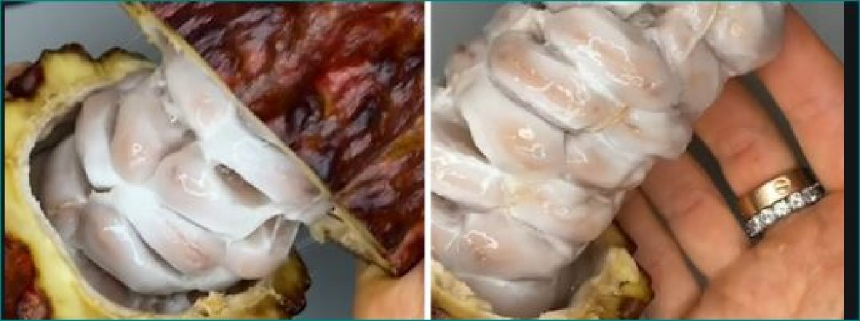 Chocolate Lovers feeling uncomfortable after discovering what cocoa pods actually look like