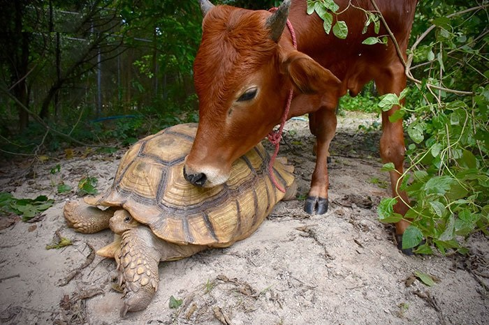 friendship of cow and tortoise