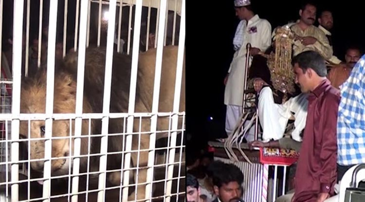groom arrived on a caged lion