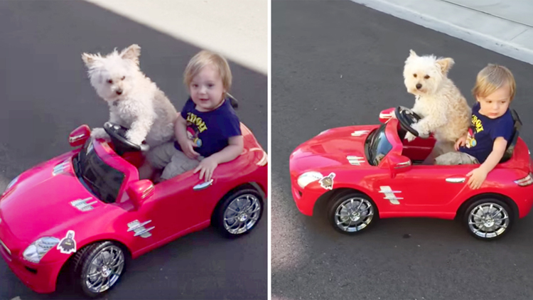 Dog drives little Boy in car Daisy Driving Oliver