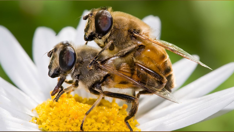 why male honey bee die after mating