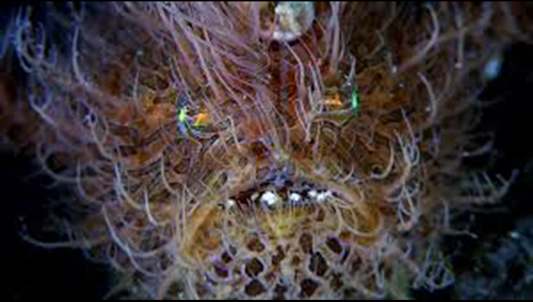Many Species Of Frogfish In The Indo Pacific Region