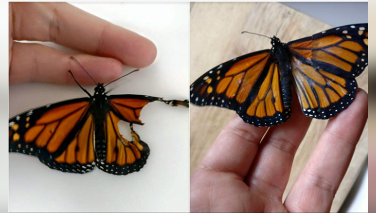 Viral: Woman Fixes Butterfly's Wings To Save His Life