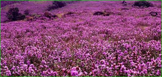 The Mystery about Neelakurinji Blooming Only Once In 12 Years