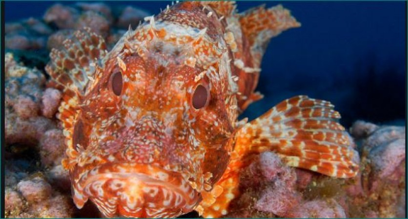 rare fish is the Scorpionfish changes color like a chameleon