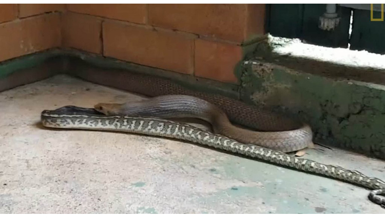Venomous Snake Devours a Python Whole in This Rare Video