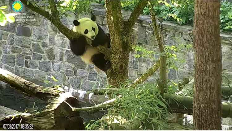 BeiBei is working on his dismounts out of the trees