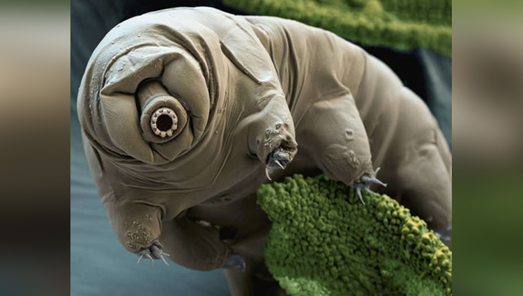 tardigrades the toughest animal